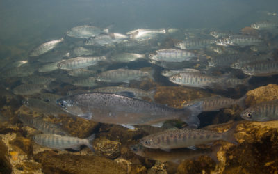 Is shifting climate driving changes in salmon population dynamics?