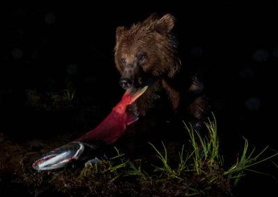 Brown bear with sockeye | Jonny Armstrong
