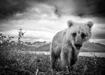 A blonde brown bear in Bristol Bay, Alaska | Jonny Armstrong