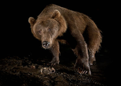 Bristol Bay brown bear | Jonny Armstrong