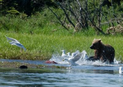 Brown bear chasing sockeye | Jonny Armstrong