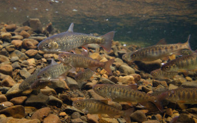 Habitat refuges crucial in streams with low summer flows