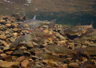 Coho salmon and Arctic charr | Jonny Armstrong