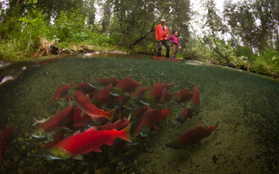 Human disturbances altering sockeye life-history