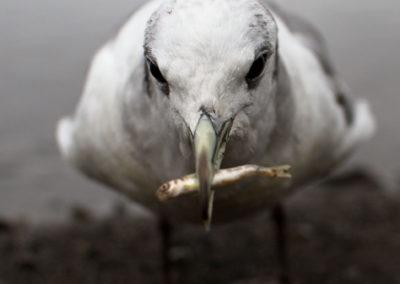 Gull with sockeye fry | Jonny Armstrong