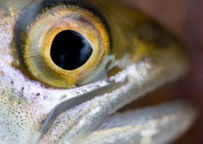 Juvenile coho salmon | Jonny Armstrong