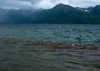 Thousands of sockeye migrating | Jonny Armstrong