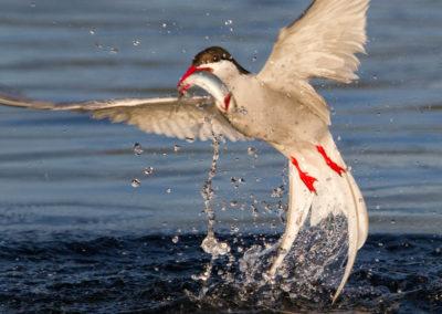 An Arctic tern fishing | Jonny Armstrong