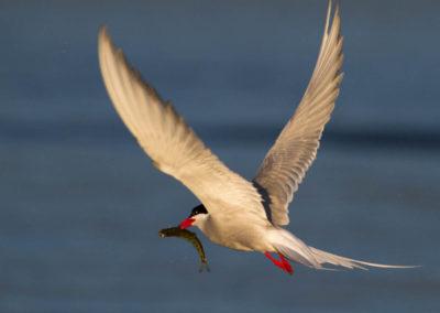 Arctic tern with sockeye | Jonny Armstrong