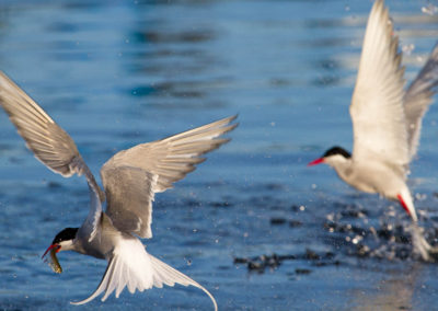 Arctic terns fishing | Jonny Armstrong