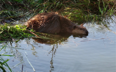 Beaver engineering improves salmon habitat