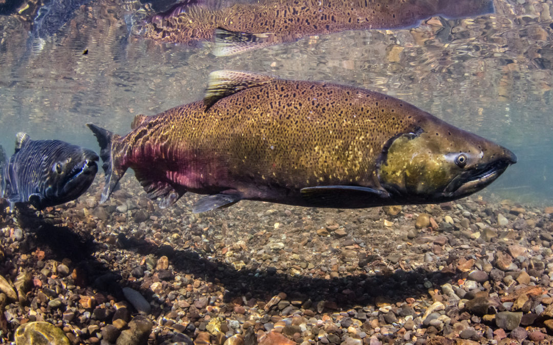 Demographic structure of Chinook populations is shifting