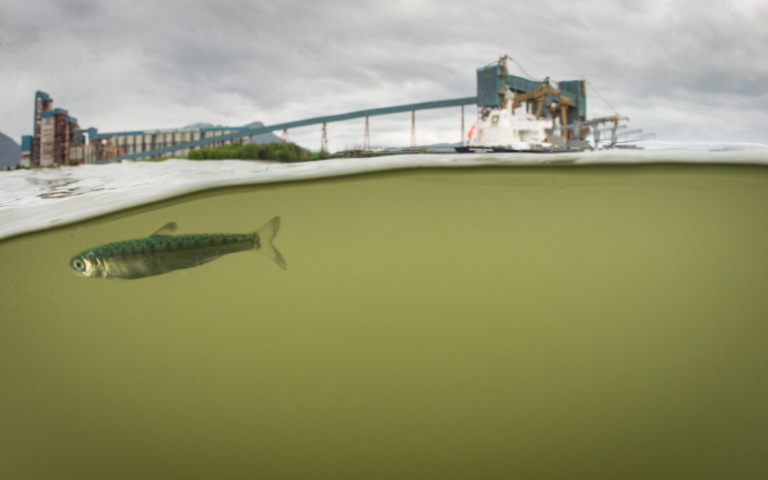 Review provides body of evidence that estuary development can put juvenile salmon at risk